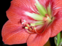 artwork:hippeastrum_th.png